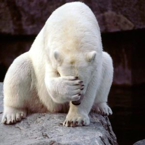 Polar Bear Facepalm